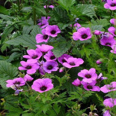 Geranium psilostemon 'Bressingham Flair'