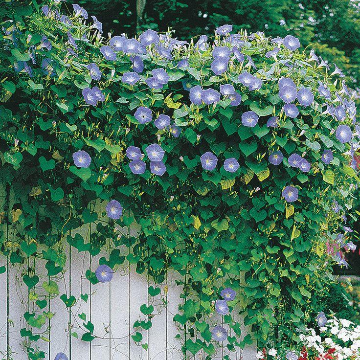 Heavenly Blue Morning Glory, white fence.
