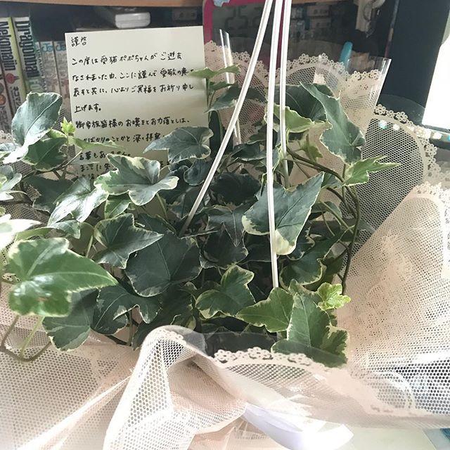 なんか予定がなかった宅配便が来たから受け取って宛名見たら動物病院からだった。 開けて見たら鉢花が… 猫が駄目な花粉が出る花じゃなく緑の葉が… 手書きメッセージ付きで… ポポのために頑張っていただいて贈り物まで… 今、涙が止まらない。 本当にありがとうございました。 #cat #cat #pet #pets #neko #catstagram  #nekostagram #catlover #instacat #ilovecat #ネコ #猫 #ねこ#ねこ部 #ネコ部 #猫部 #愛猫 #にゃんすたぐらむ #ねこすたぐらむ #猫バカ#popo #笹かま猫 #蒼天の笹かま猫 #動物病院 #ありがとう