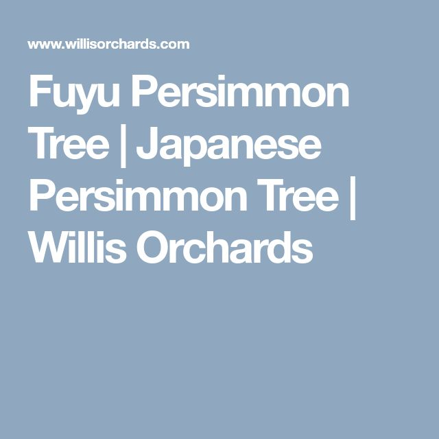 Fuyu Persimmon Tree | Japanese Persimmon Tree | Willis Orchards