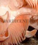 Cogumelos Repolgas Cor de Rosa Kit Pronto a Produzir 3,5 Kg