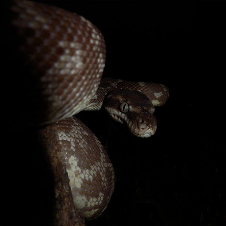 "Australian Rough-Scaled Python. ""Piper"". (Snakes, reptiles)."
