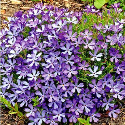 "Phlox ""Violet Pinwheels"",3 Pflanzen"