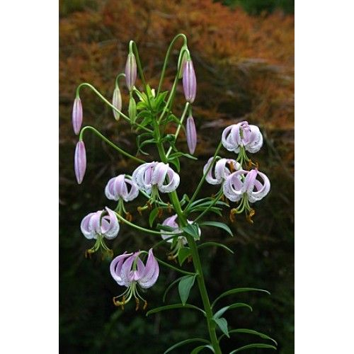 Bulbi crini Lankongense - circumferinta bulb 6+ cm (matur) - raritate