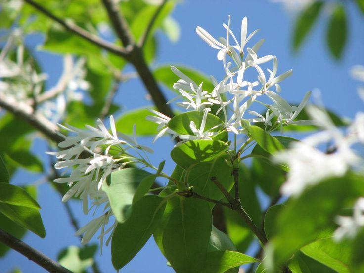 Chionanthus Retusus | Chinese Fringe Tree