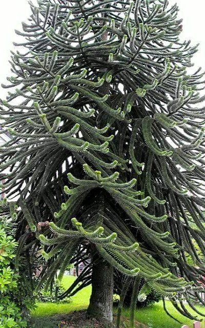 Monkey Puzzle Tree (araucaria araucana)  Our daughter in Portland had one of these in the front yard of the home they bought.  They removed it because of potentially branches falling.  The wood is EXTREMELY hard!