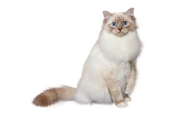 Birman Cat Breed - Purina®