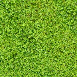 Vivace originale formant un tapis de mousse vert. A placer en sol frais à toute exposition.