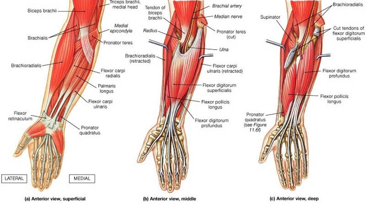Muscles of the forearm (Anterior).  Know your body!