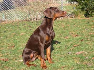 a red doberman pinscher with uncropped ears just like the lovely