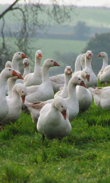Oltre 1000 idee su animali da fattoria su pinterest for Vecchie planimetrie della fattoria