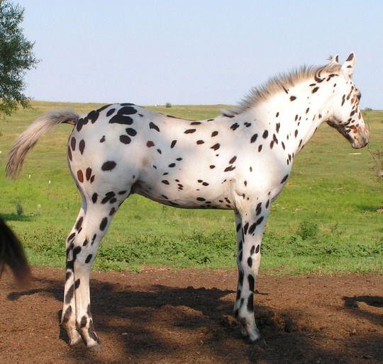 Beautiful Leopard Appaloosa Foal. CTR Ranch