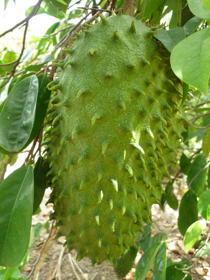 how to cut a soursop fruit