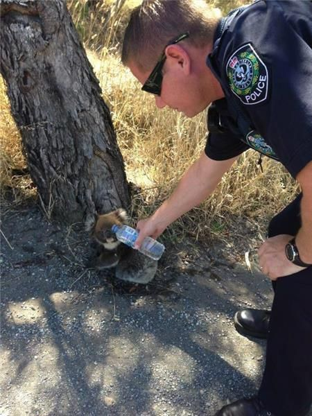 A koala gets a much needed drink of water from a South Australian Police officer during the heatwave Jan 16 2014 livenews.abc.net.au