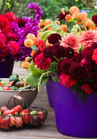 Dahlias  - Big, easy-to-grow blossomsBeautiful Flower, Flower Delight, Dahlias Delight, Beautiful Dahlias, Delight Dahlias, Jonathan Buckley, Gardens, Dahlias Festivals, Perch Hills