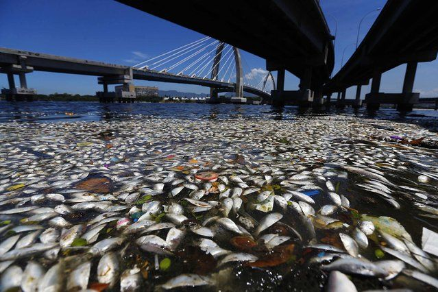 Dead fish are pictured on the banks of the Guanabara Bay in Rio de Janeiro February 24, 2015.  International Olympic Committee members meeting in Rio de Janeiro this week will understand if its waters are not completely clean for the sailing events in 2016, the state's governor said on Monday. (Photo by Ricardo Moraes/Reuters)