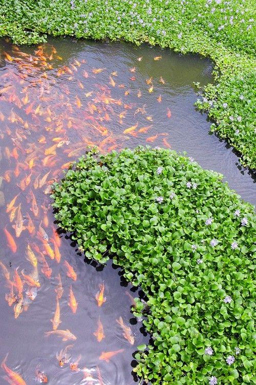 12 best stock tank pond images on pinterest for Koi fish life span