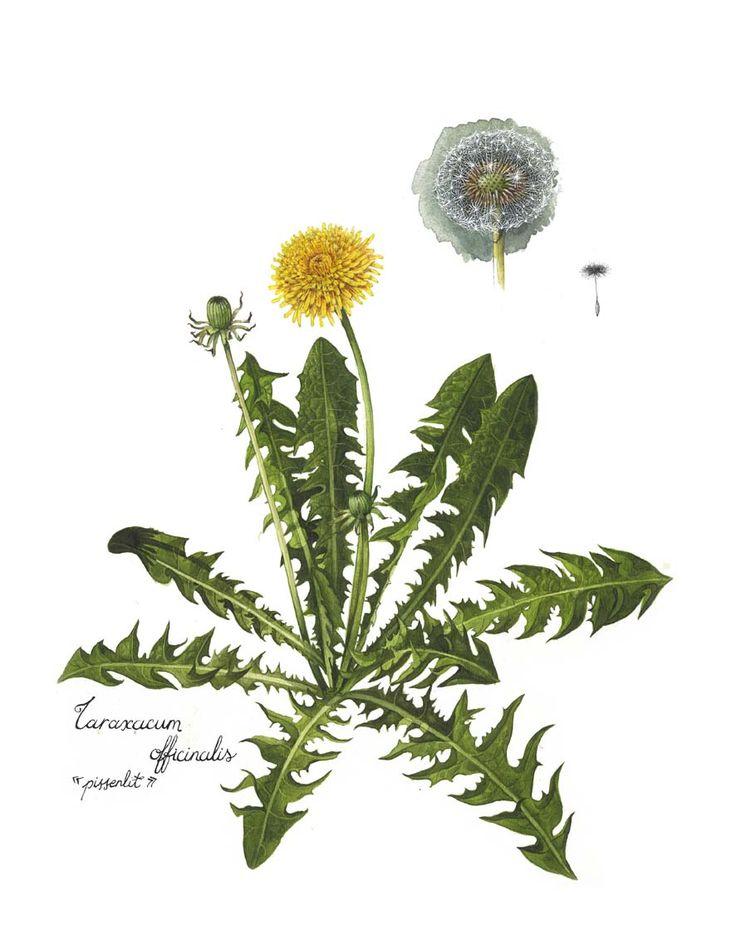Le pissenlit : Tout est bon dans le pissenlit : ses racines à cuisiner en gratin, ses feuilles en salade ou comme légume cuit et ses fleurs en gelée. Le pissenlit est riche en vitamine A, C et K. Il contient également du calcium, du fer, du sodium et du potassium.