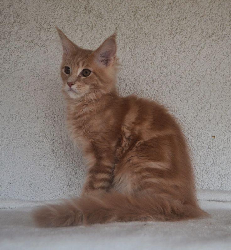 Maine Coon - Mainská mývalí kočka: Do naší kočičí rodiny přibyl kocourek.