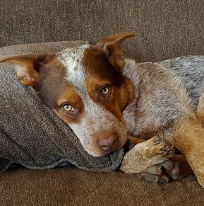 2018-01-11 BUDDY is an adoptable Dog - Australian Cattle Dog / Blue Heeler searching for a forever family near Herald, CA. Affectionate. Constant companion.