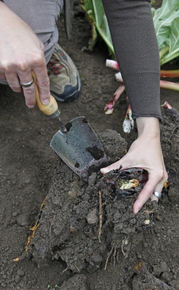 Im Herbst ist Pflanzzeit für Rhabarber. Hier zeigen wir Ihnen Schritt für Schritt, wie Sie große Rhabarberstauden durch Teilung mit dem Spaten erfolgreich vermehren.