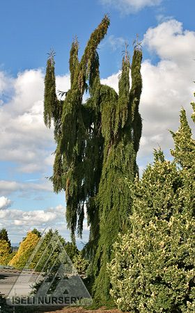 Sequoiadendron giganteum 'Pendulum' is a magnificent weeping specimen of the Giant Redwood.