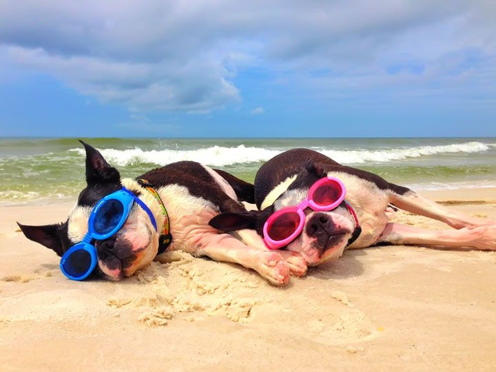 Miley and Howie are too cool for the beach! #bostonterriers