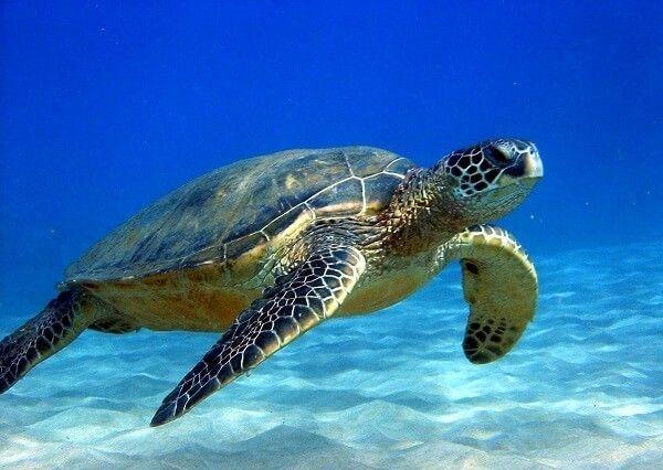 que comen las tortugas2