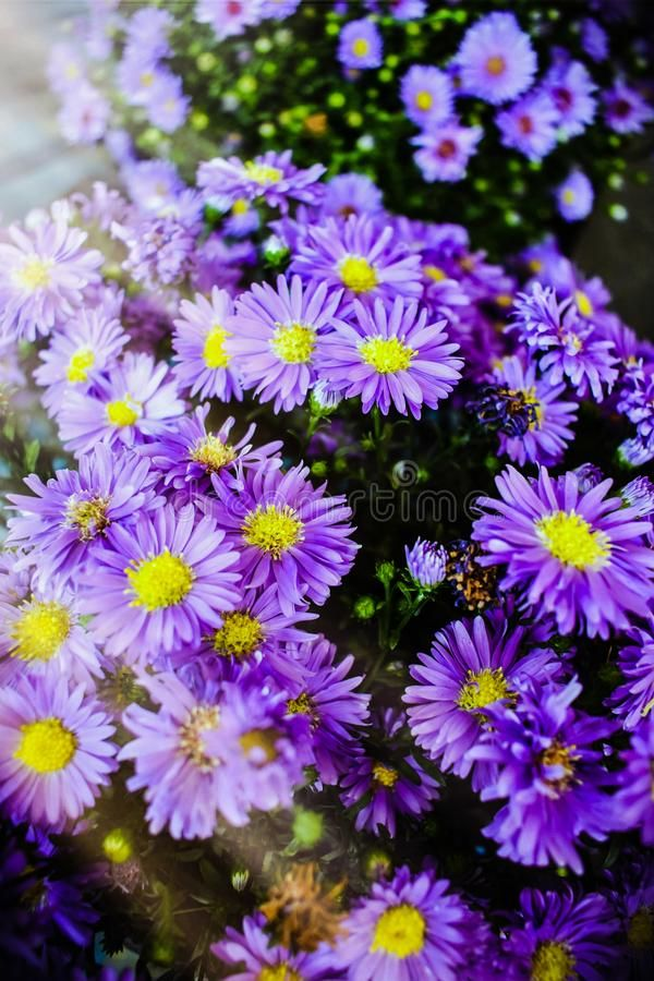 A Bunch Of Purple Ultraviolet Aster Flowers Under A Bokeh Of Sunlight Colorful Affiliate Flowers Bokeh Sunlight As Aster Flower Flower Images Bokeh