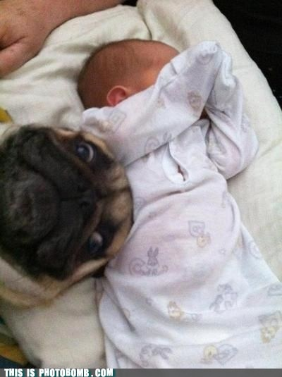 Cutest photobomb everrr!Selfie, Photobomb, Photos Bombs, Dogs, Funny, Pugs, Baby, Pay Attention, Animal