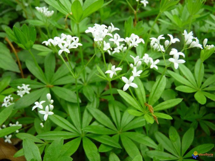 10. L'aspérule odorante fait partie de la famille des plantes dites « Rubiacées ». C'est une plante dont le parfum est très apprécié pour ses vertus médicinales. L'aspérule odorante est connue pour sa faculté répulsive contre tous types d'insectes volants (moustiques, guêpes, frelons…).  Elle peut être cultivée dans le jardin ou en pot sur votre terrasse. Vous pouvez aussi déposer un petit bouquet séché à l'intérieur de chez vous pour faire barrage aux moustiques.