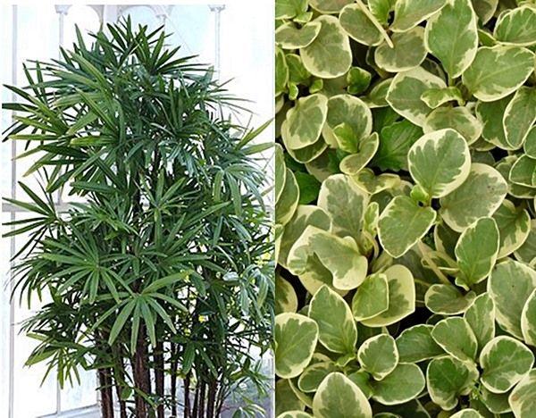 As plantas Peperomias e Ráfis vão ficar lindas juntinhas no seu jardim ou varanda ! E não dão trabalho!