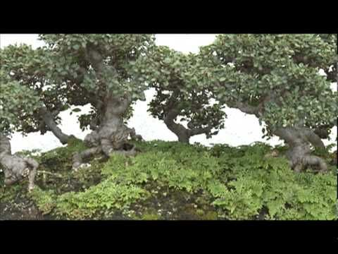 A video of a 30 year old ficus bonsai tree, some information about the care and pruning of ficus bonsai trees. Description from 1tinyurl.com. I searched for this on bing.com/images