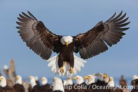 Bald Eagle photo, Haliaeetus leucocephalus, Haliaeetus leucocephalus washingtoniensis photograph, stock photo of a Bald Eagle, image #22681, by Professional Natural History Photographer Phillip Colla / Oceanlight.com