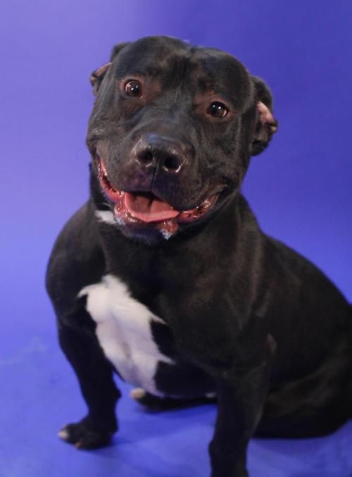 BLACK JACK 126814 is an adoptable Staffordshire Bull Terrier, Black Labrador Retriever Dog in Newark, NJ Black Jack is a short stout mixture of Staffie with some Black Lab in his anestry tree. He was  ... ...Read more about me on @petfinder.com