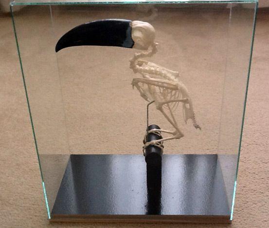 Toekan skelet / schedel