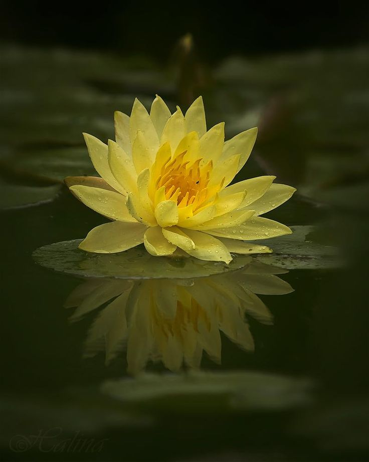 114 best trisaara images on pinterest lotus flowers beautiful yellow water lily mightylinksfo