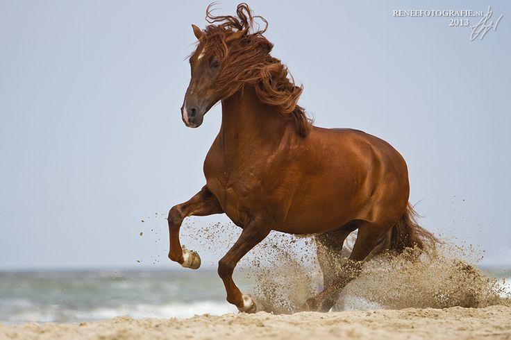 Chestnut horse running...