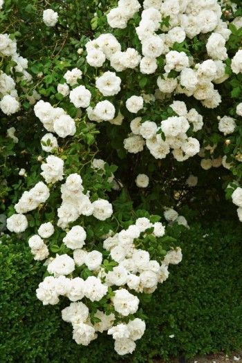 Albaros, Rosa 'Mme Plantier'