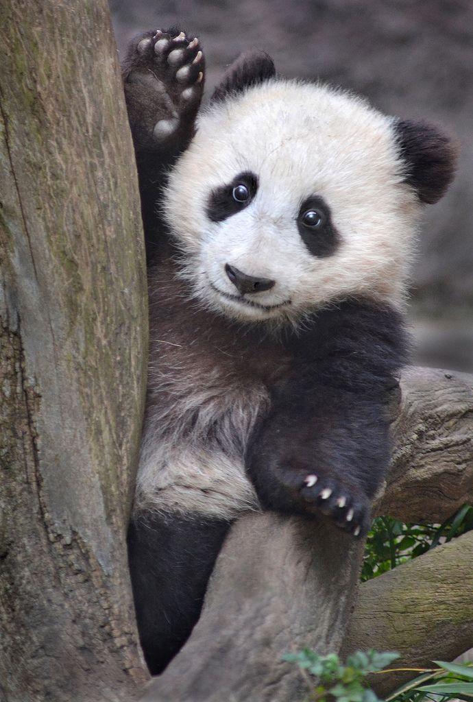 635 best Panda Love images on Pinterest   Baby pandas ...