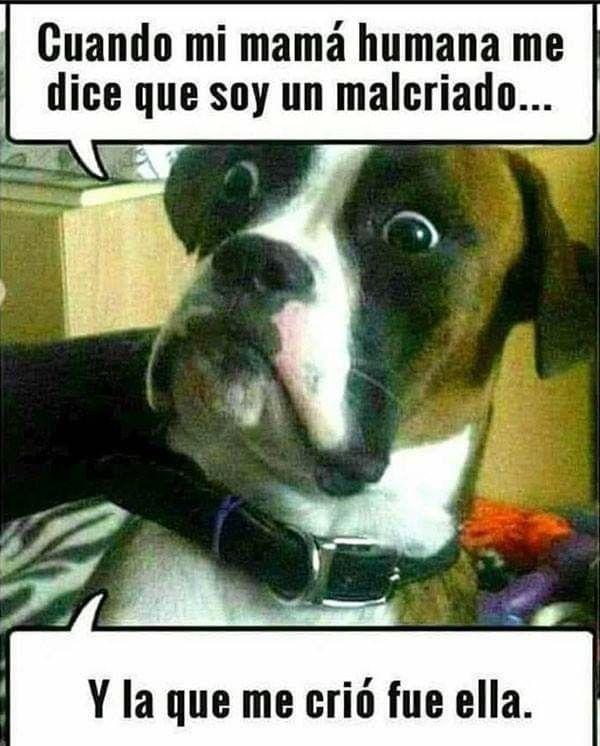 Malcriado Fotos De Perros Graciosas Memes Divertidos Sobre Perros Memes Perros