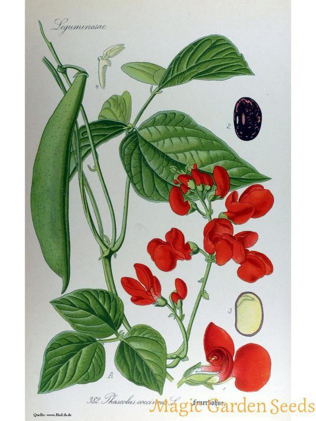 Prunkbohne, Feuerbohne 'Preisgewinner' (Phaseolus coccineus) #0