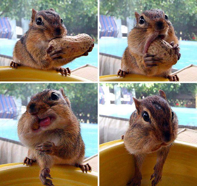 Les lois de l'élasticité nous surprendront toujours (écureuil qui mange des cacahuettes)