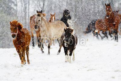 Fototapete pferd, winterlicher, tier - pferde, winter - lauf herde von pferden im schnee  ✓  Breite Materialauswahl ✓ 100% Öko-Druck ✓ Sieh die Meinungen unserer Kunden!