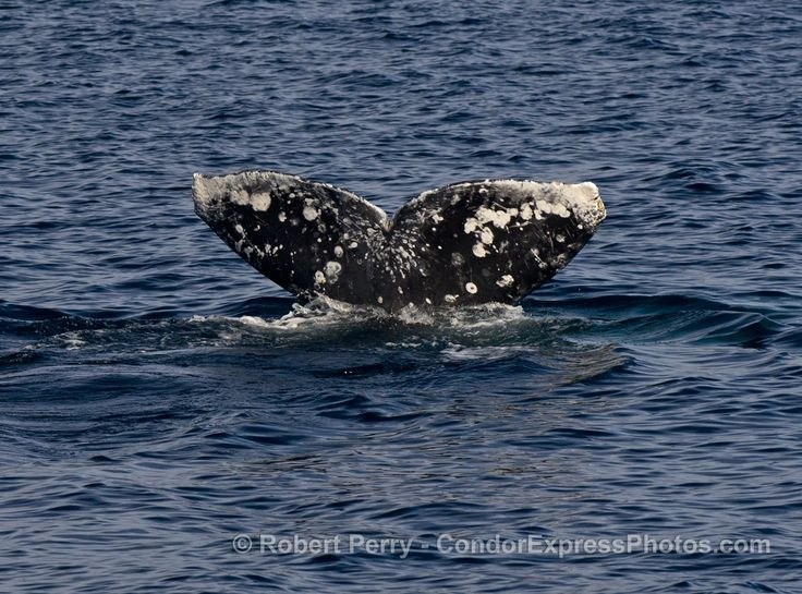 Gray whales, dolphins, bald eagle - http://condorexpress.com/gray-whales-dolphins-bald-eagle/