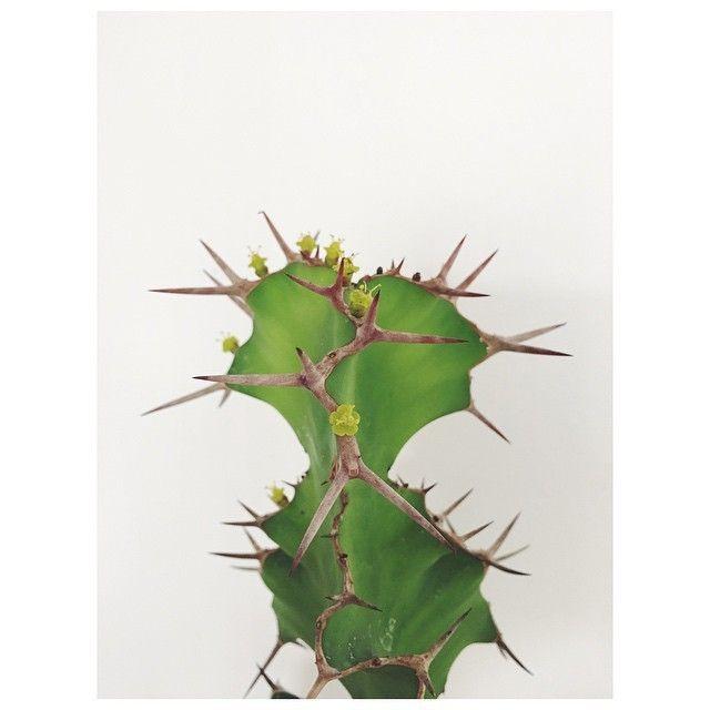 flowering Euphorbia grandicornis Coluna Natureza em Casa (foto: FLO atelier botânico) matéria: aprenda a diferenciar cactos das euforbias