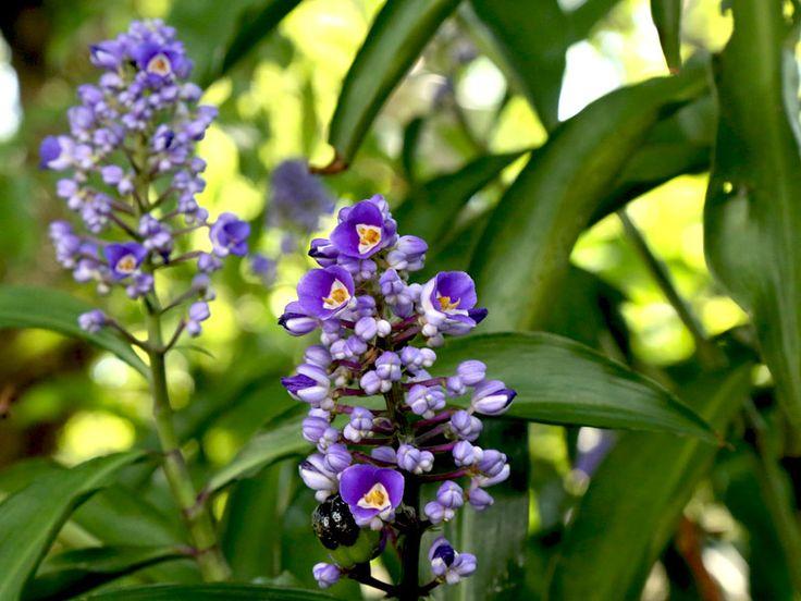 Dicorisandra - Família Commelinaceae - Dicorisandra, marianinha, trapoeraba-azul, gengibre-azul... o que não faltam são nomes para a cana-de-macaco, uma planta com flores exóticas