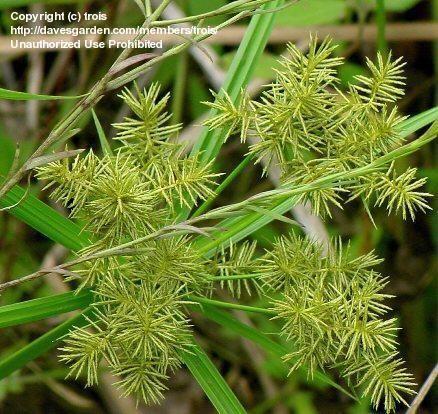 Weedy Yellow Nutsedge, Weedy Nutsedge, Weedy Nutgrass (Cyperus esculentus)