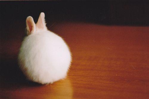 後ろ姿がふわふわすぎるウサギ (adorable, bunnies, bunny, cute, fluffy - inspiring picture on Favim.comから)