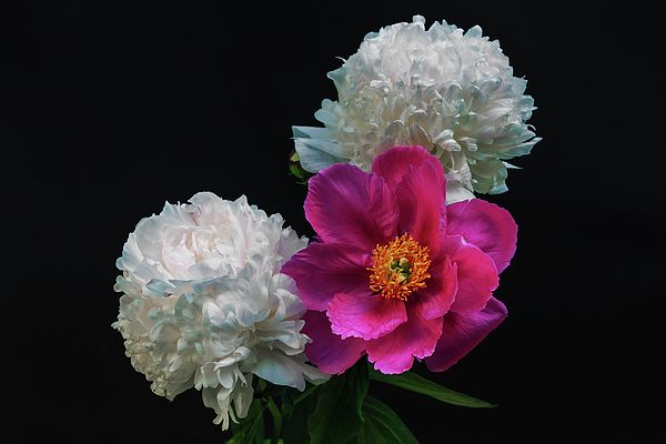 George Westermak Photograph -  Peonies - Beautiful Flowers - On The Right Is One Of The First Places Among The Garden Perennials#GeorgeWestermakFineArtPhotography #FineArtPrints #Photography #Flowers